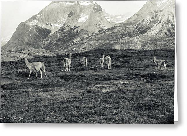 The Lamas Greeting Card by Andrew Matwijec