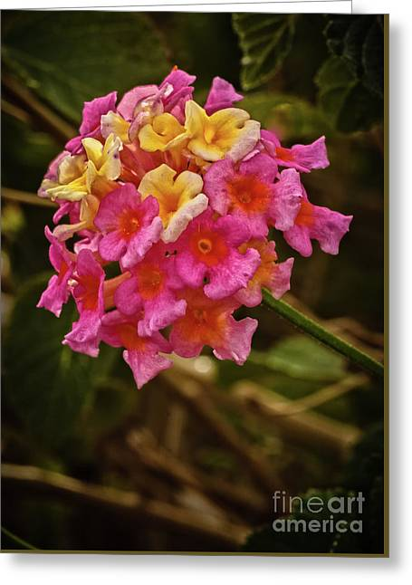 The Lantana Greeting Card by Robert Bales