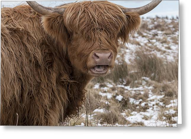 The Laughing Cow, Scottish Version Greeting Card
