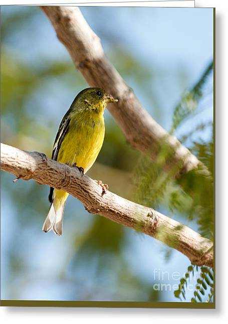The Lesser Goldfinch Greeting Card