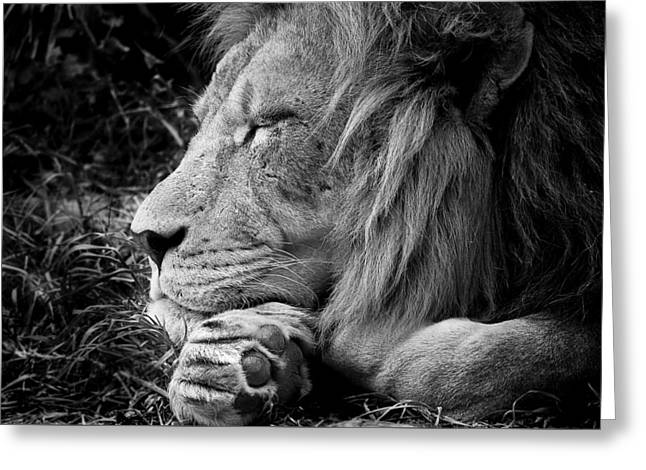 The Lion Sleeps - Black And White Greeting Card