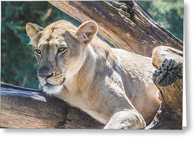 The Lioness Greeting Card by David Collins