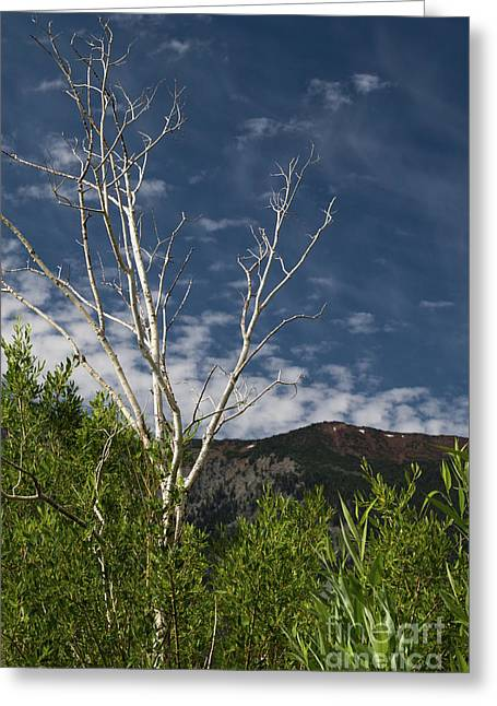 The Lonely Aspen  Greeting Card