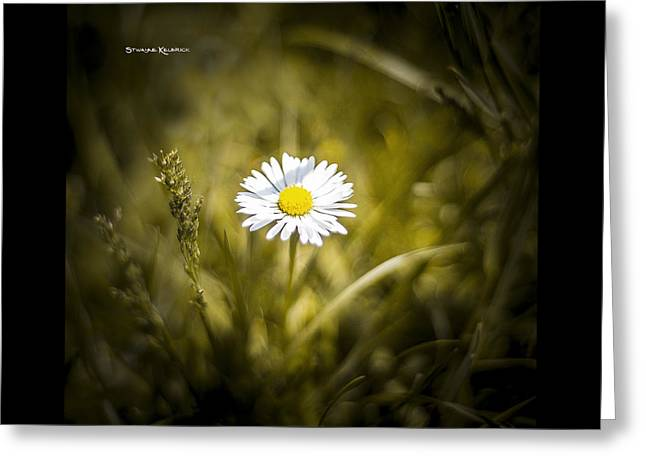 Greeting Card featuring the photograph The Lonely Daisy by Stwayne Keubrick