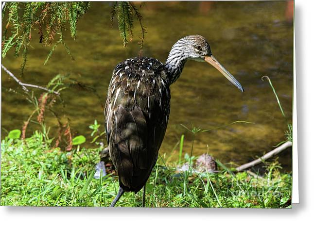 The Lovely Limpkin Greeting Card