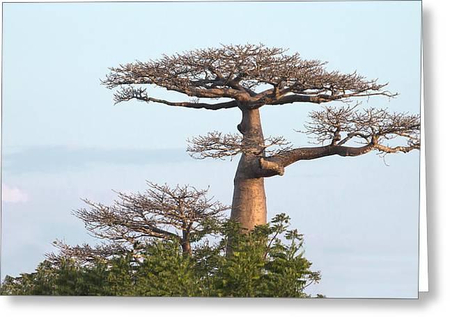 The Majestic Baobab Greeting Card