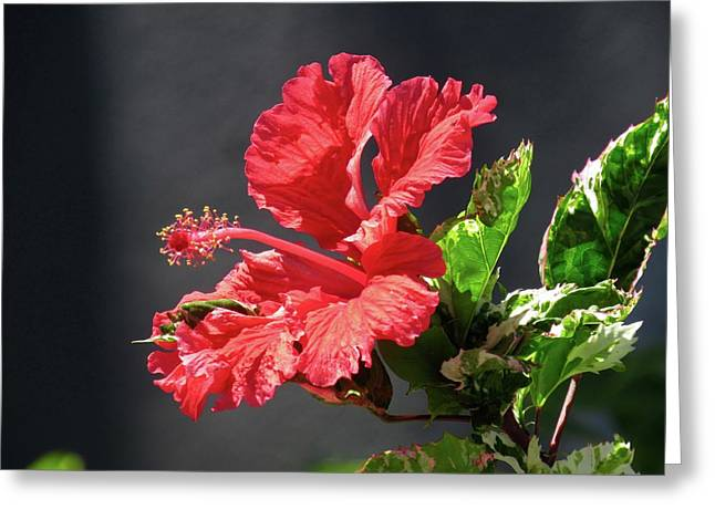 The Mallow Hibiscus Greeting Card