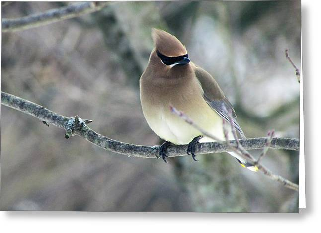 The Masked Cedar Waxwing Greeting Card