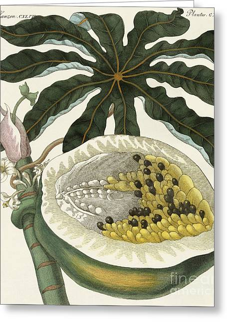 The Melon Or Papaya Tree Greeting Card