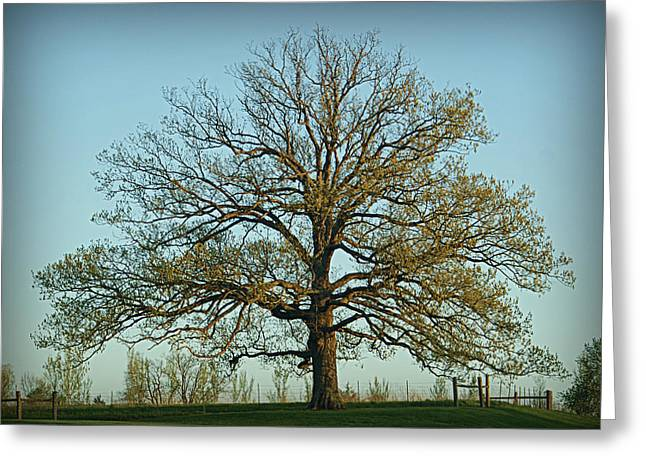 The Mighty Oak In Spring Greeting Card