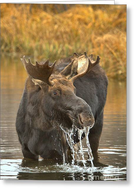 The Moose Lunch Drool Greeting Card