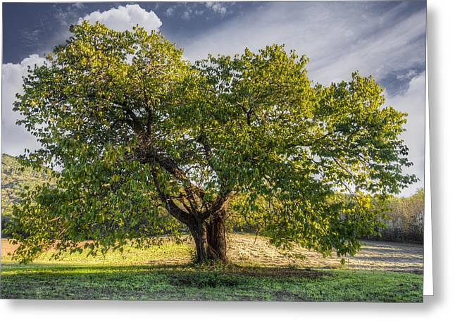 The Mulberry Tree Greeting Card by Debra and Dave Vanderlaan