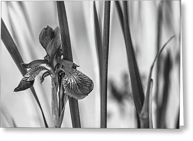 The Mystery Of Spring Bw Greeting Card