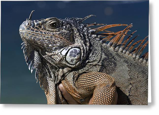 The Night Of The Iguana Greeting Card