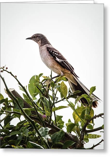 The Northern Mockingbird Greeting Card by Robert Bales