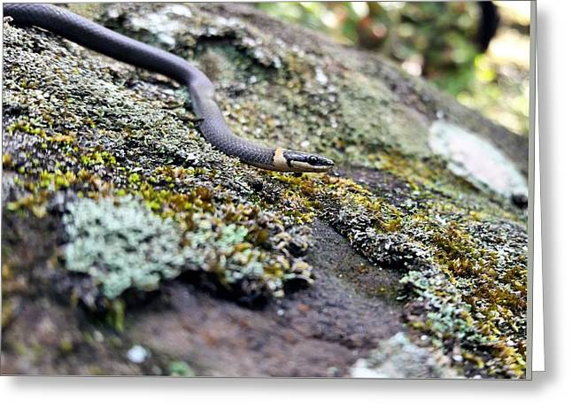 The Northern Ringneck Snake Greeting Card by Kyle Findley
