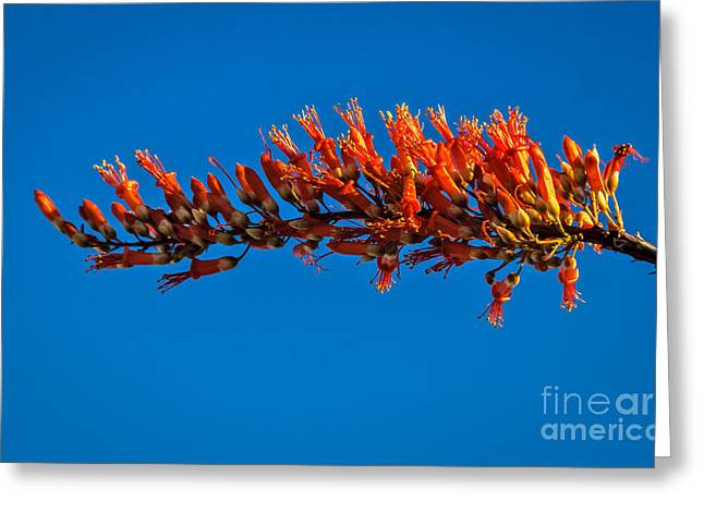 The Ocotillo Greeting Card by Robert Bales