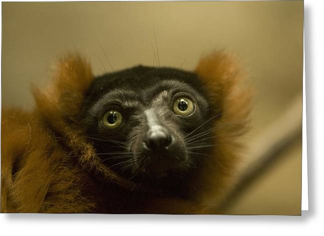 The Omaha Zoos Red Ruffed Lemur Varecia Greeting Card by Joel Sartore