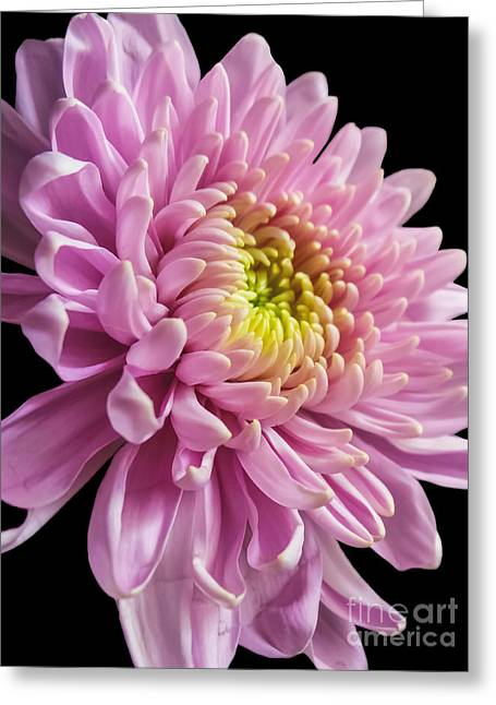 The One And Only Dahlia  Greeting Card by Charlie Cliques