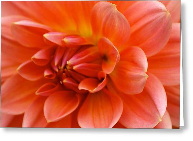 The Opening Of A Dahlia Greeting Card by Sonja Anderson