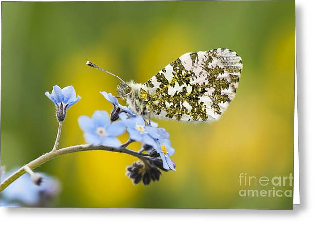 The Orange Tip Butterfly Greeting Card by Tim Gainey