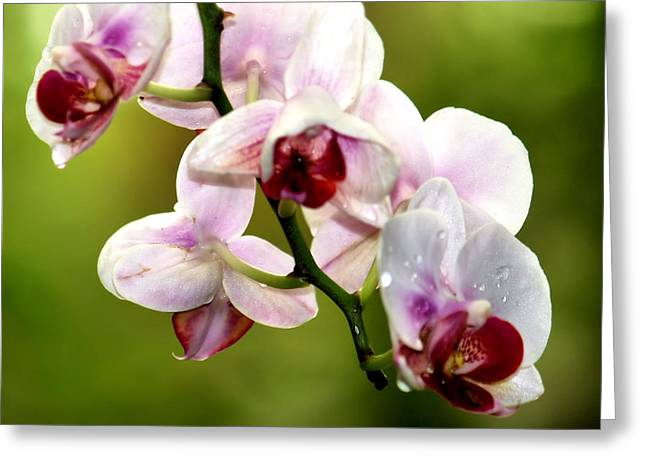 The Orchid Greeting Card by Karen M Scovill