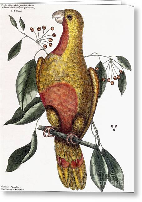 The Parrot Of Paradise, Psitticus Paradisis Greeting Card