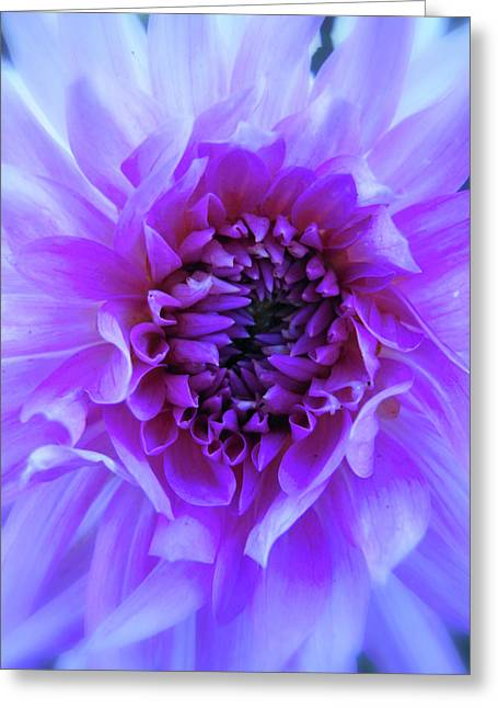 The Passionate Dahlia Greeting Card