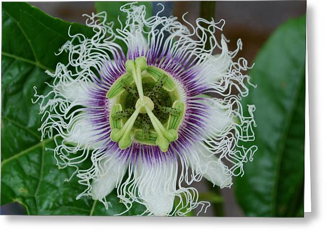 The Passionfruit Flower Greeting Card by Coral Dolan