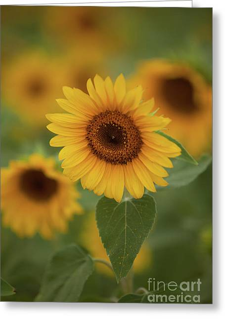 The Patch Of Sunflowers Greeting Card