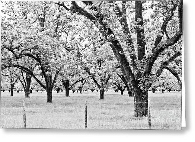 The Pecan Orchard - Bw Greeting Card