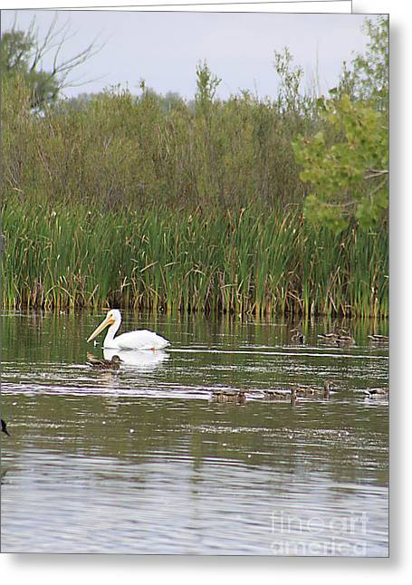 Greeting Card featuring the photograph The Pelican And The Ducklings by Alyce Taylor