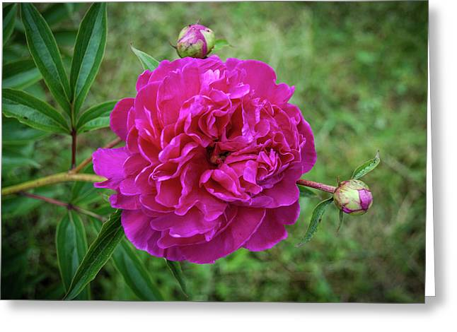 Greeting Card featuring the photograph The Peonie by Mark Dodd