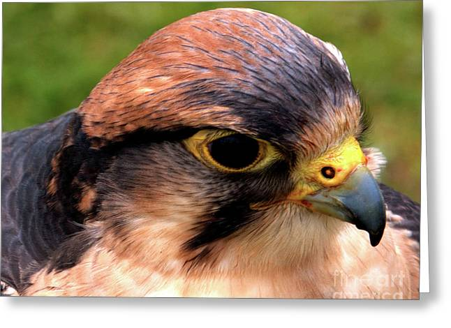 The Peregrine Greeting Card by Stephen Melia