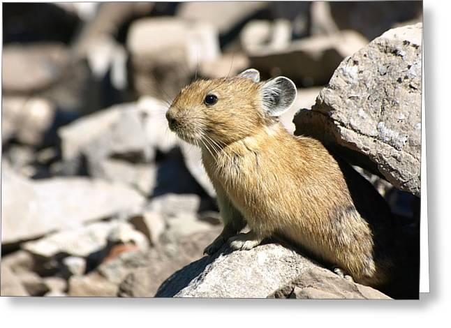 The Pika Greeting Card