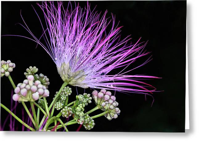 The Pink Mimosa Flower Greeting Card