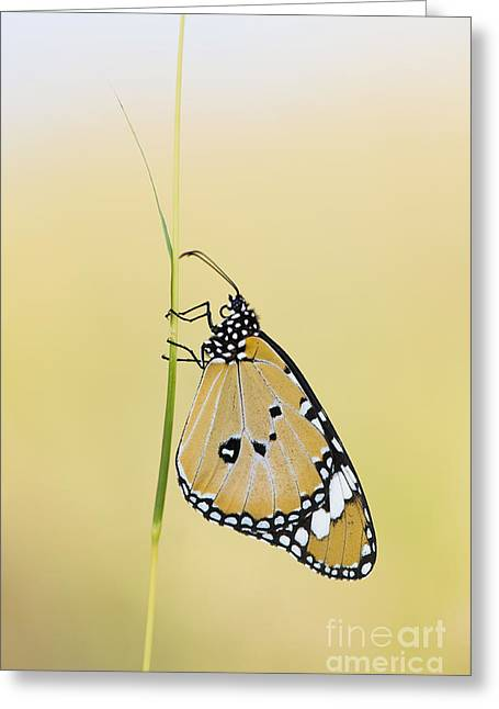 The Plain Tiger Butterfly  Greeting Card