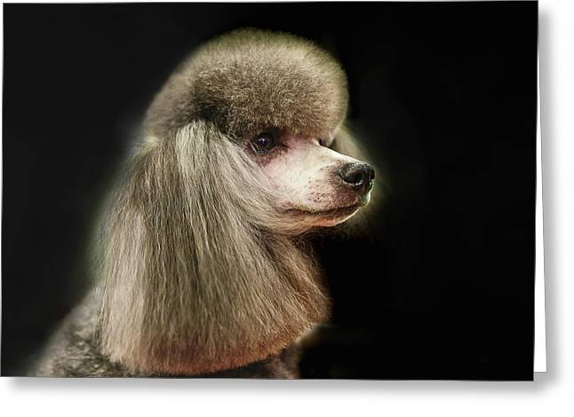 The Poodle Is A Breed Of Dog, One Of The Most Common Breeds In The Present. Greeting Card