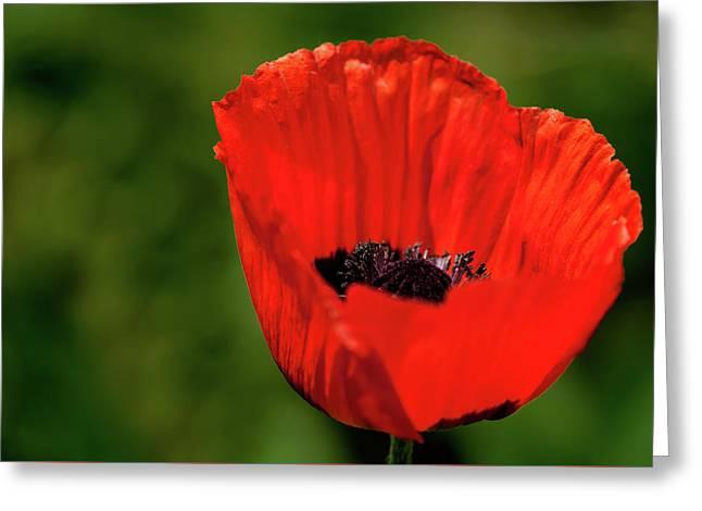 The Poppy Next Door Greeting Card by Onyonet  Photo Studios
