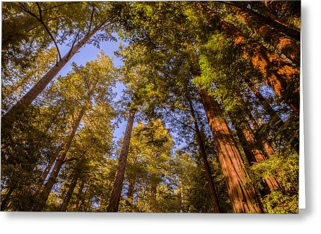 The Portola Redwood Forest Greeting Card