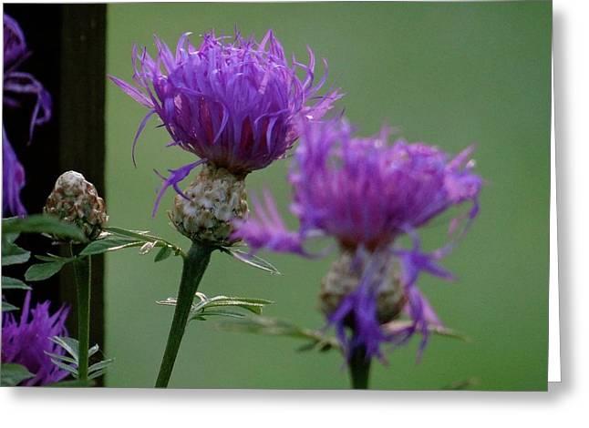 The Purple Bloom Greeting Card