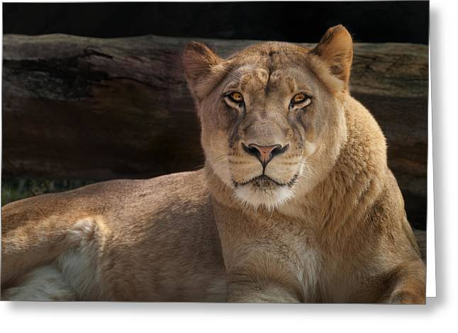 The Queen - A Lioness Watches You Greeting Card by Mitch Spence