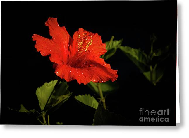The Red Hibiscus Greeting Card by Robert Bales
