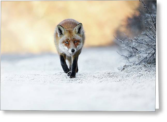 The Red, White And Blue - Red Fox In The Snow Greeting Card