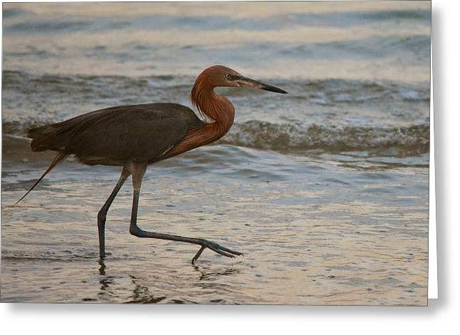 The Reddish Egret Stride Greeting Card by Patricia Twardzik