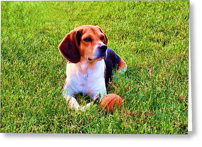 Greeting Card featuring the photograph The Reserved Beagle by KLM Kathel