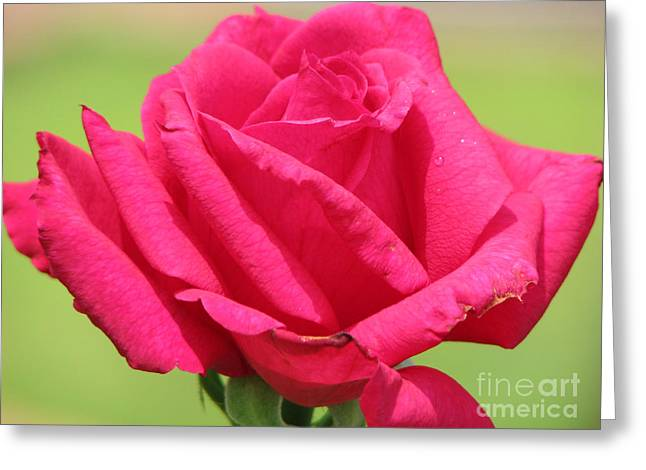 The Rose Greeting Card by Amanda Barcon