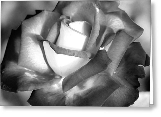 The Rose In Two Tones Greeting Card