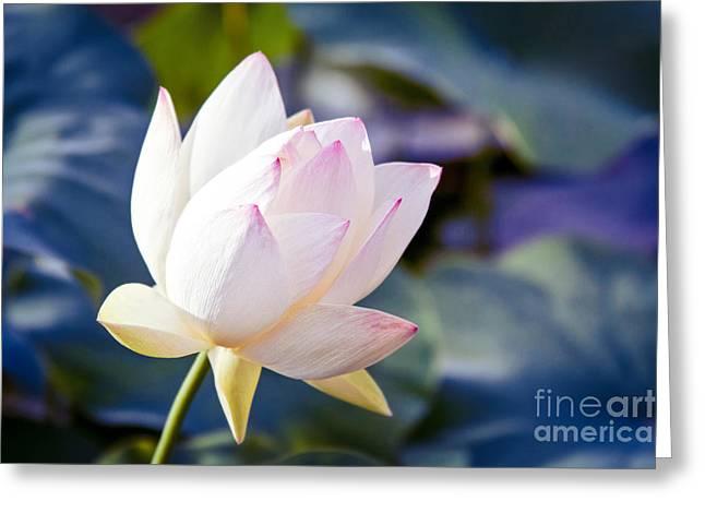 The Sacred Lotus Greeting Card by Sharon Mau