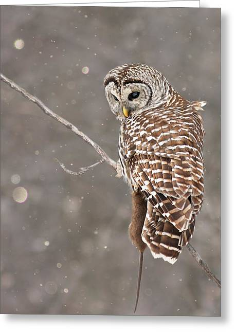 The Silent Hunter Greeting Card by Mircea Costina Photography